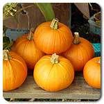 Organic Non-GMO New England Pie Pumpkin - OPEN-POLLINATED - Garden Vegetable Seed for Planting (price includes shipping) - The Sprout House