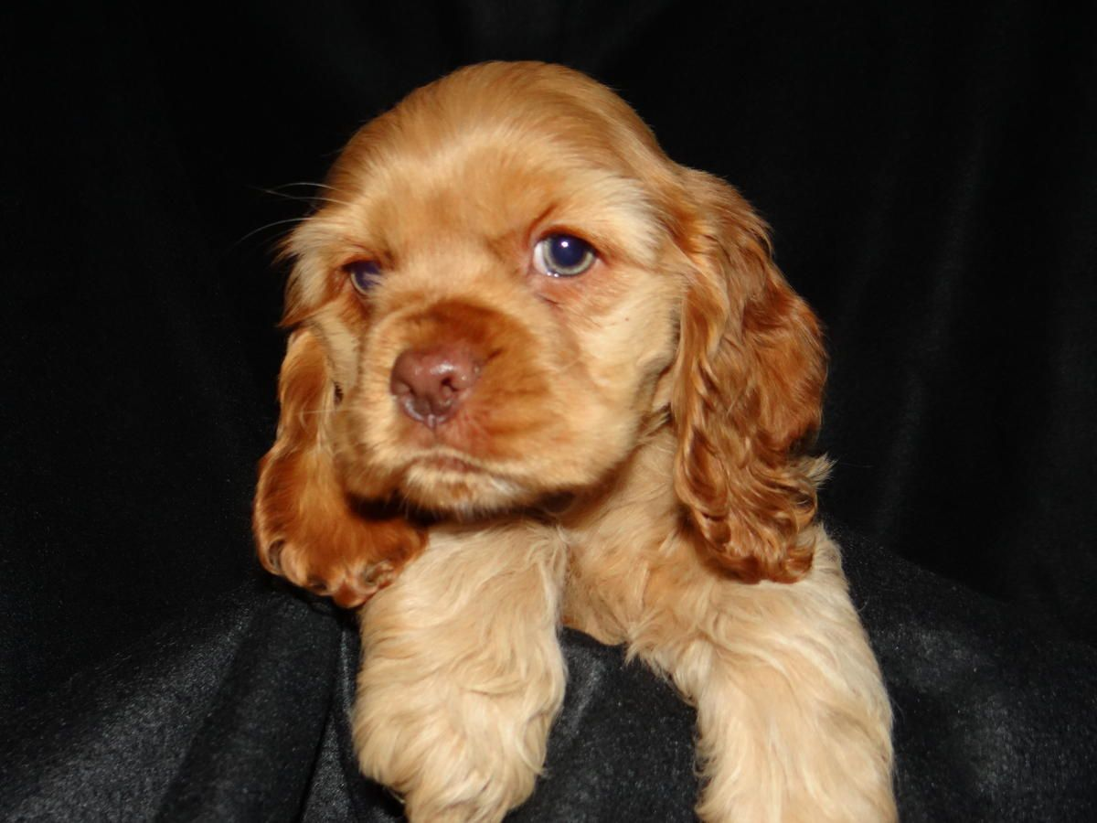 American Cocker Spaniel For Sale Hoobly Classifieds Cocker