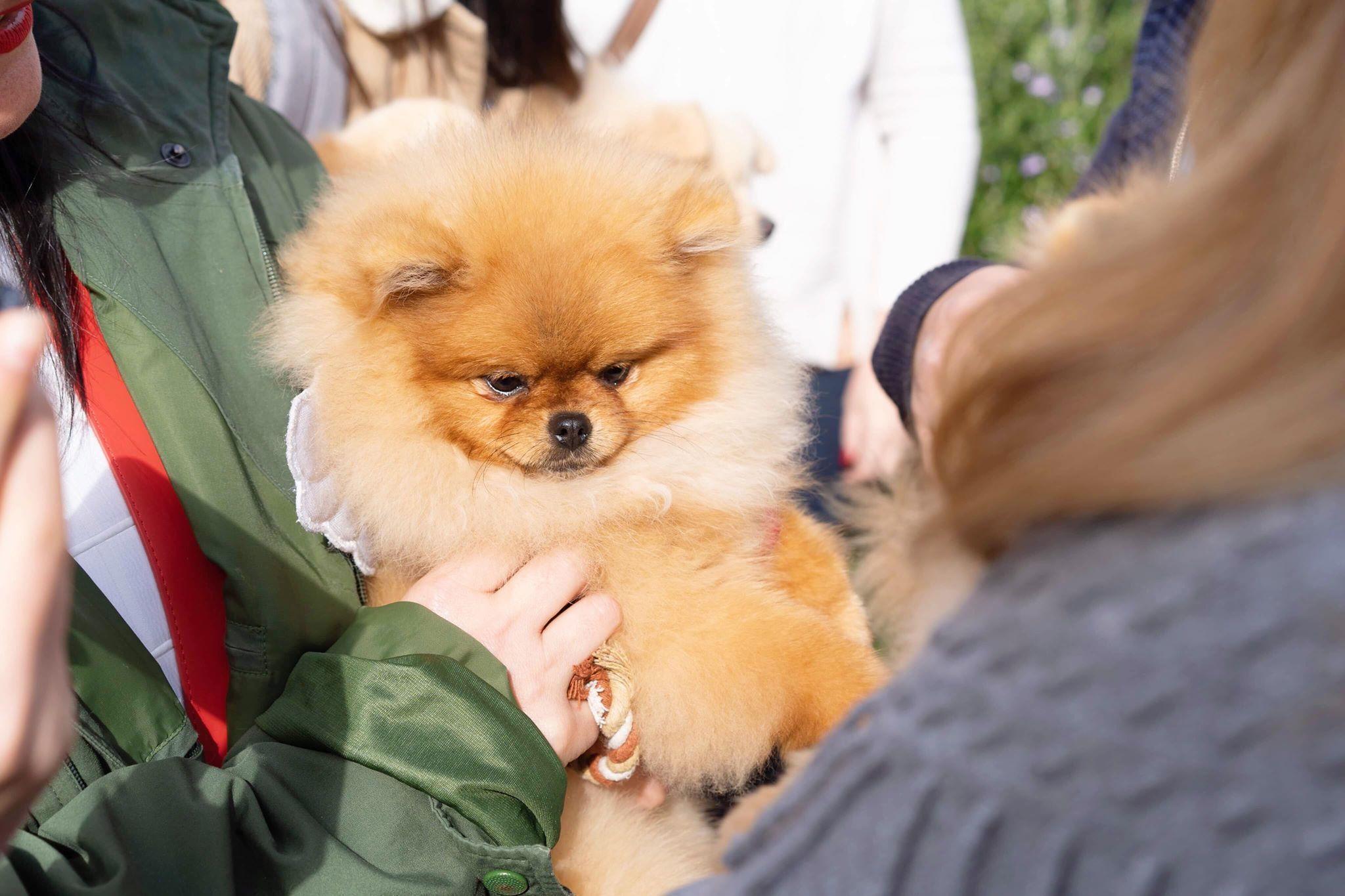 Dochlaggie Pomeranian Puppies Melbourne Dochlaggie Pomeranian Pomeranians Pomeranian Puppy Puppies Aussie Puppies