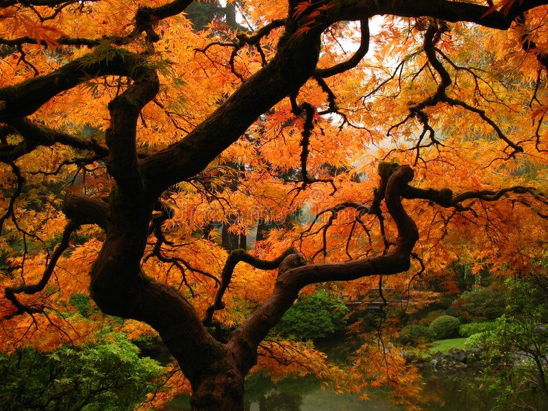 Japanese Maple. A Japanese Maple in autumn , #Sponsored, #Japanese, #Maple, #autumn #ad #japanesemaple