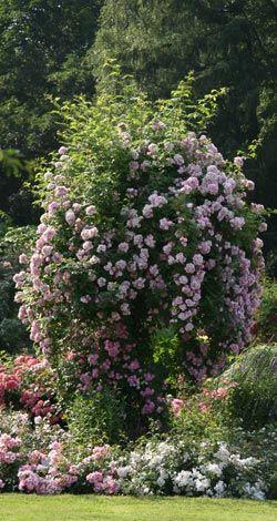 rambler kletterrosen rosen rosen von schultheis garten pinterest kletterrosen rose. Black Bedroom Furniture Sets. Home Design Ideas