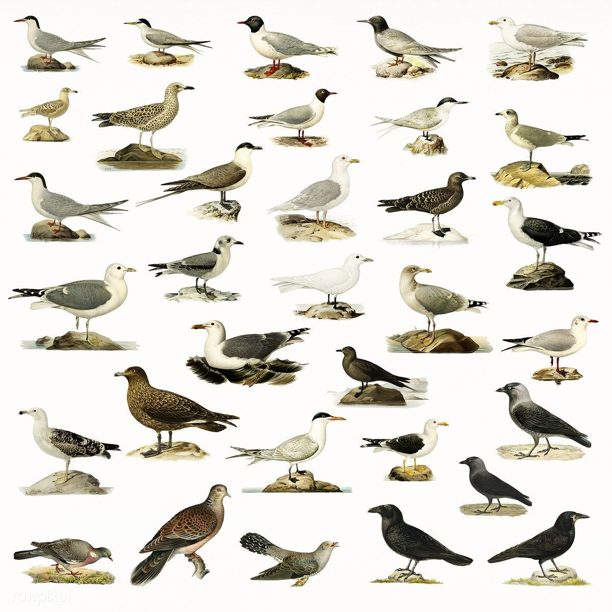 Download premium illustration of Hand drawing of birds collection (มีรูปภาพ)