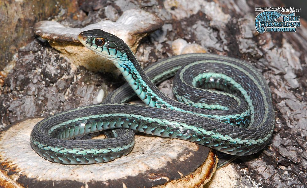 Florida Blue Garter Snake Florida Blue Garter Snakes Wanted