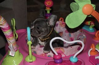 French Bulldog Puppy Bulldog Puppies French Bulldog Puppy