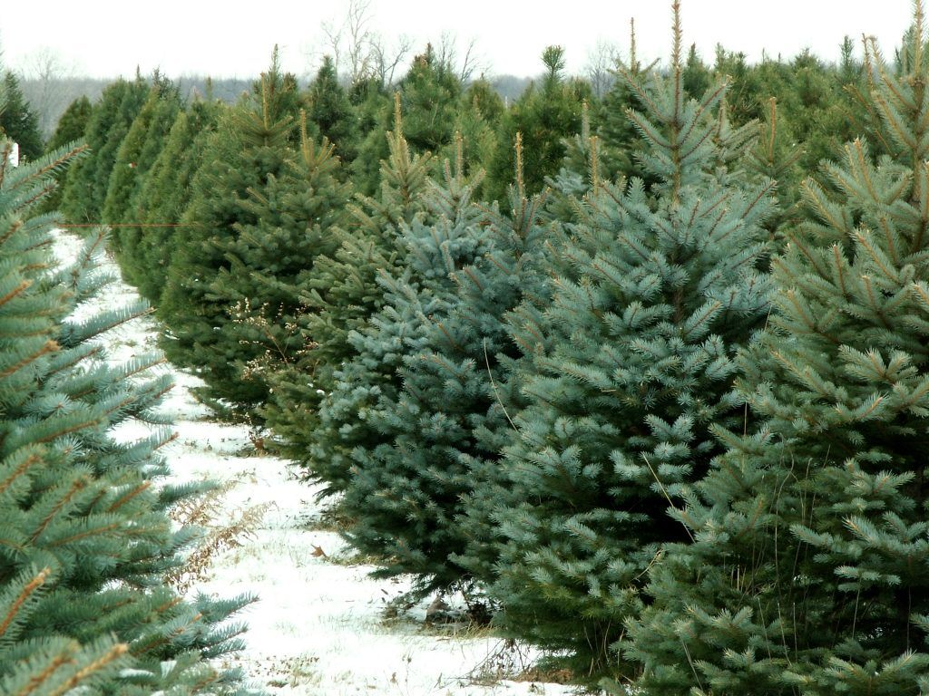 7 Rules To Keep A Christmas Tree Fresh All Season Long ...