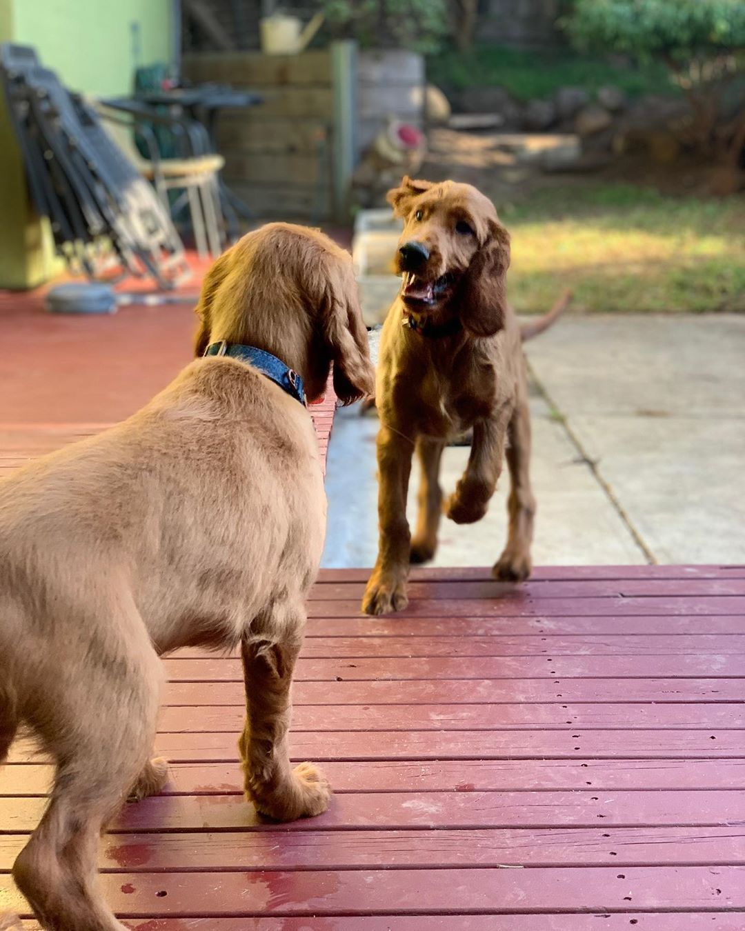 Pin by Alice on Puppies! in 2020 Irish setter, I love