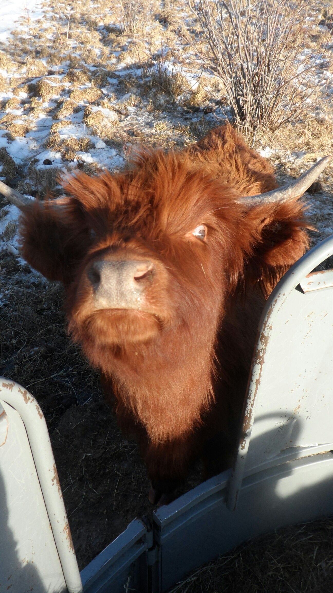 Nevis cow being goofy! ♡