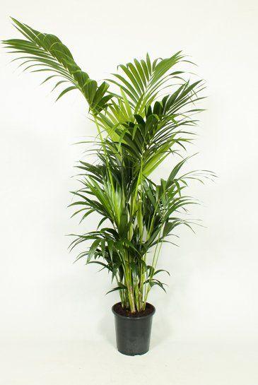 palm kentia howea forsteriana kamerplanten pinterest kentia palm palm en plants. Black Bedroom Furniture Sets. Home Design Ideas