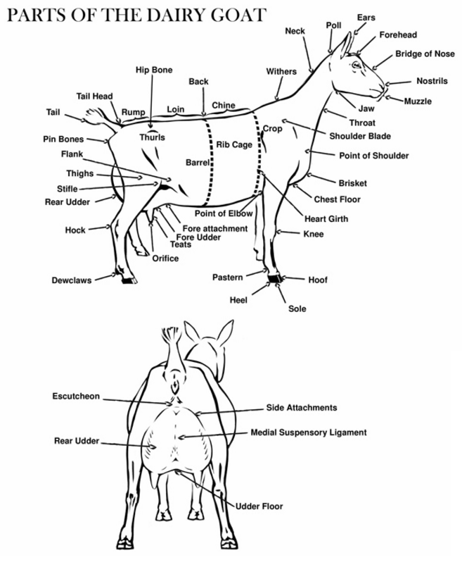 Anatomy and body part names of the Dairy Goat... | 4H Help ...