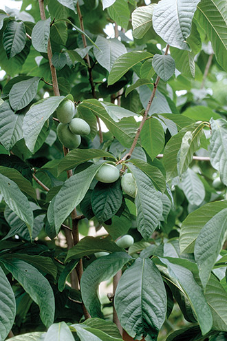 Sweet Native Fruit Trees That Won T Leave You Bitter Michigan Gardening Fruit Trees Michigan Gardening Fruit Plants