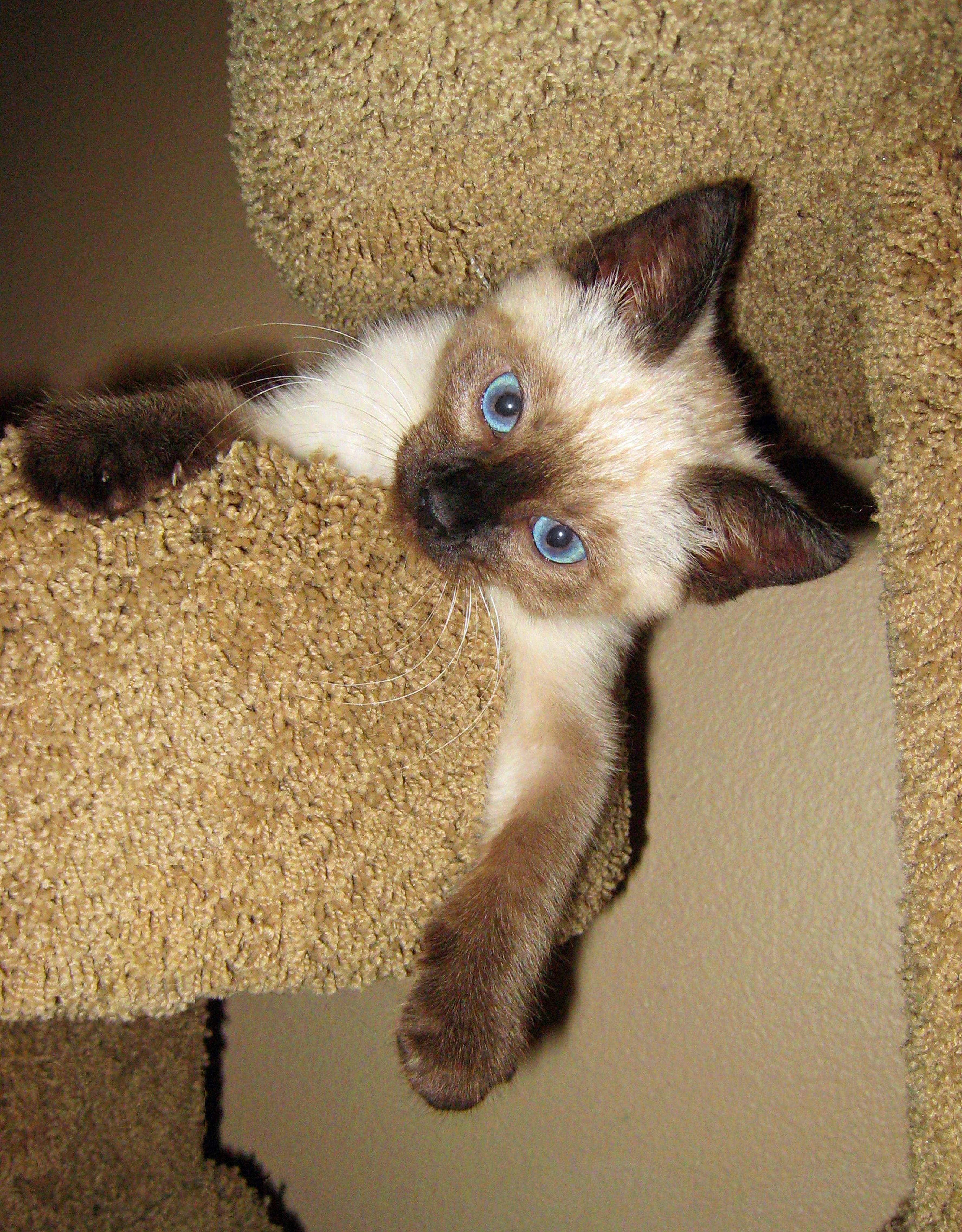Oh yeah, ya gotta love me! (Cute Siamese kitten.) Cat