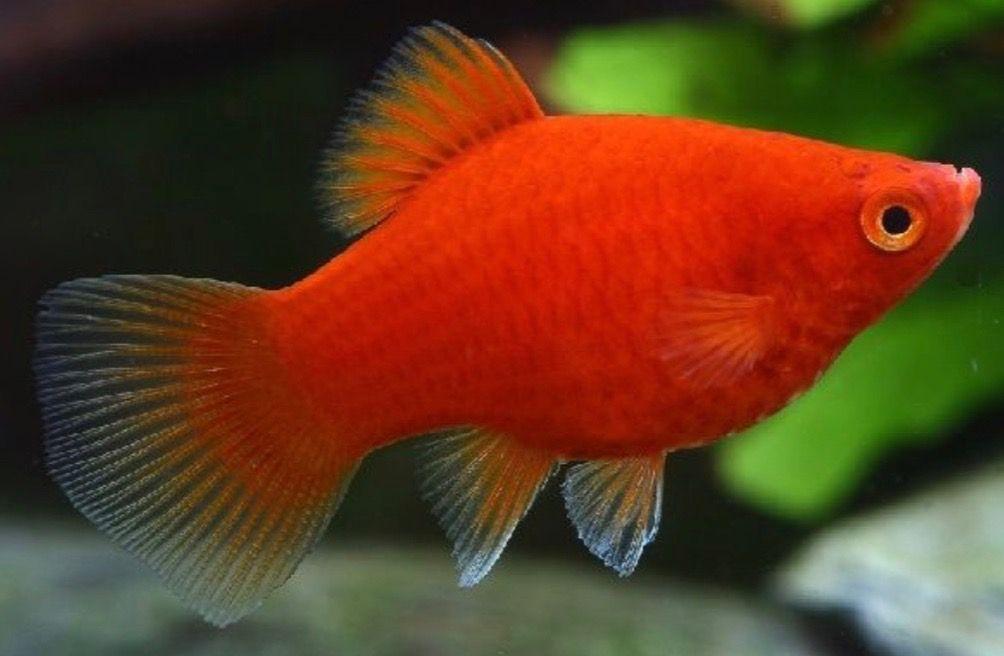 Red Coral Platy Aquarium Fish Betta Aquarium Platy Fish