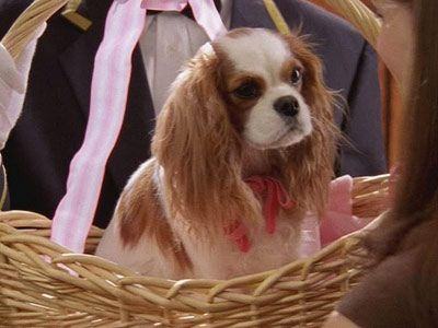 Cavalier king charles spaniel and sex and the city
