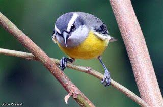 COAMA - Joinville - Observadores de Pássaros - Aves - Rain Forest - Birdwatching…