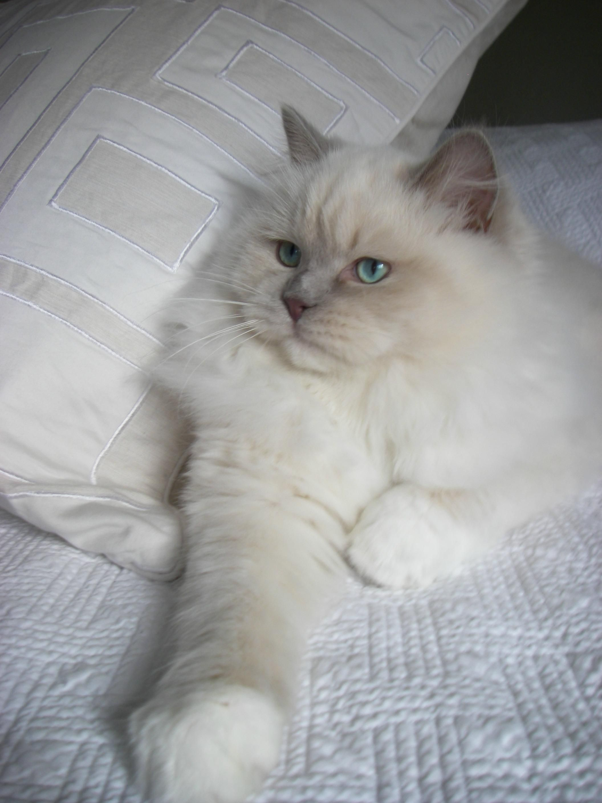 Cat Care What You Should Know About Your Pet Visit The Image Link For More Details Catstraining Cat Breeds Ragdoll Ragdoll Cat Cat Breeds