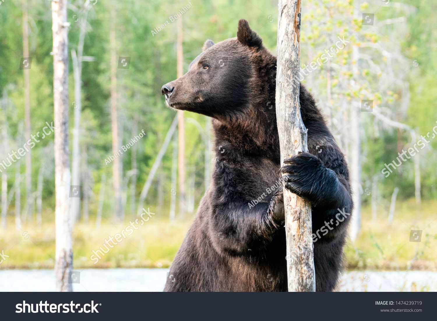 Standing European Brown Bear Ursus Arctos Arctos In Front Of A Lake With Forest In The Background Wild Brown Bear Kuhmo In 2020 Dangerous Animals Ursus Black Bear