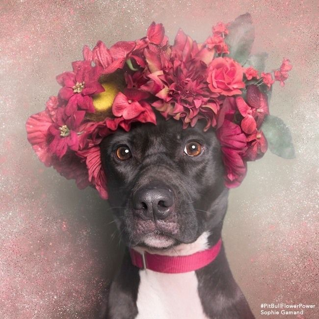 Sophie Gamand, a French photographer living in NYC, focuses her photography on dogs and our relationship with them. In her series, Flower Power: Pit Bulls of the Revolution, she hopes to help change the pit bull stereotype.
