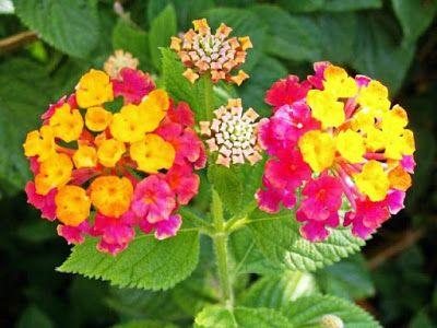 Bunga Tercantik Di Dunia Lantana Camara Bunga Bunga Cantik Gambar Bunga