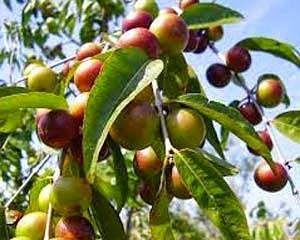 Caçari ou camu-camu e seus ricos benefícios para a saúde humana. É uma fruta rica em vitamina C, uma unidade equivale a trinta limões ou laranjas, é conhecida como o rei da vitamina C. Também conhecida por camu-camu, camucamu, araçá-d'água e camocamo. A fruta encontrada em áreas alagadas da Amazônia tem o tamanho de uma jabuticaba é apontada por pesquisadores como a segunda maior fonte de vitamina C, também é rico em aminoácidos e flavonóides.