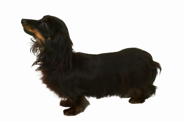 How To Groom A Miniature Long Haired Dachshund Long Haired