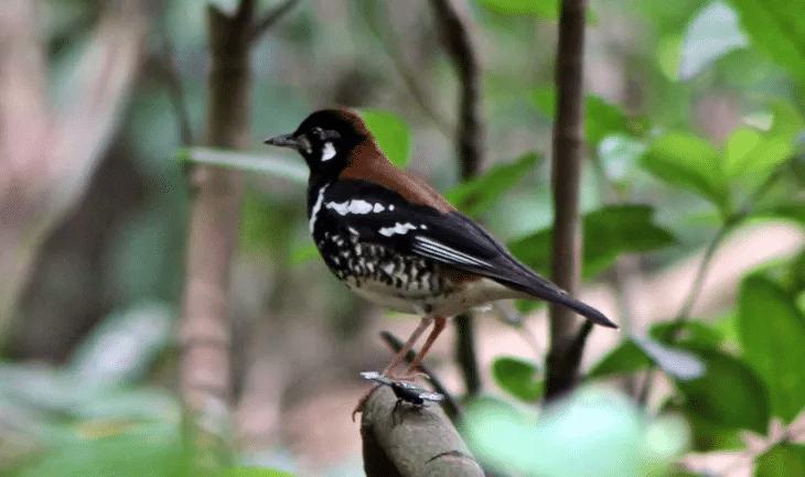 Karakteristik Dan Habitat Burung Anis Macan Burung