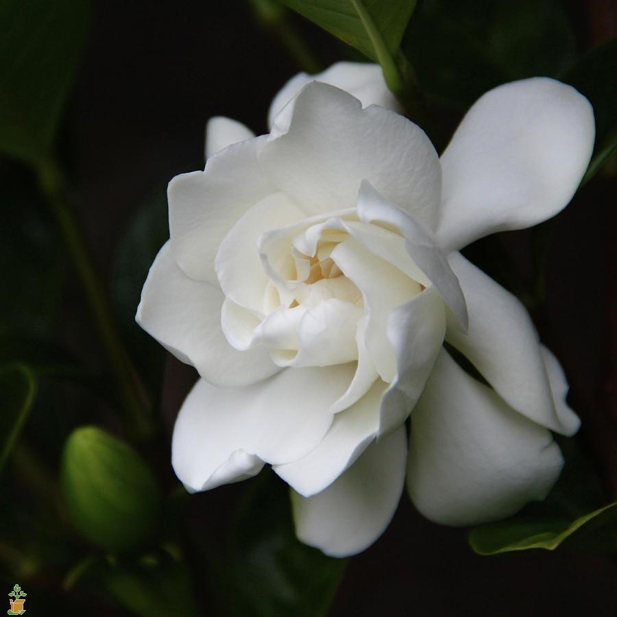 Frost Proof Gardenia Gardenia White Gardenia Foundation Planting