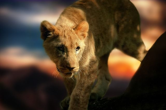 Lion Cub, Lion, Africa, Animal, Wild Animal, Mammal copyright free images no attribution required