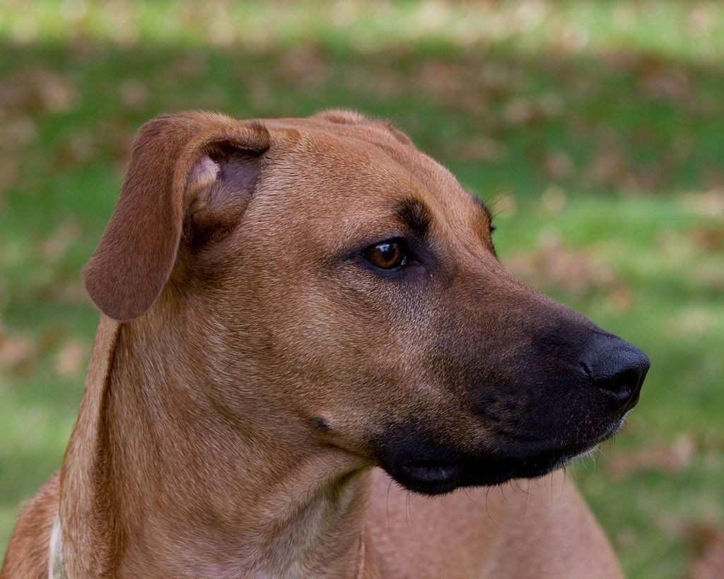 Black Mouth Cur Wikipedia The Free Encyclopedia Black Mouth Cur Black Mouth Cur Dog Dog Breeds