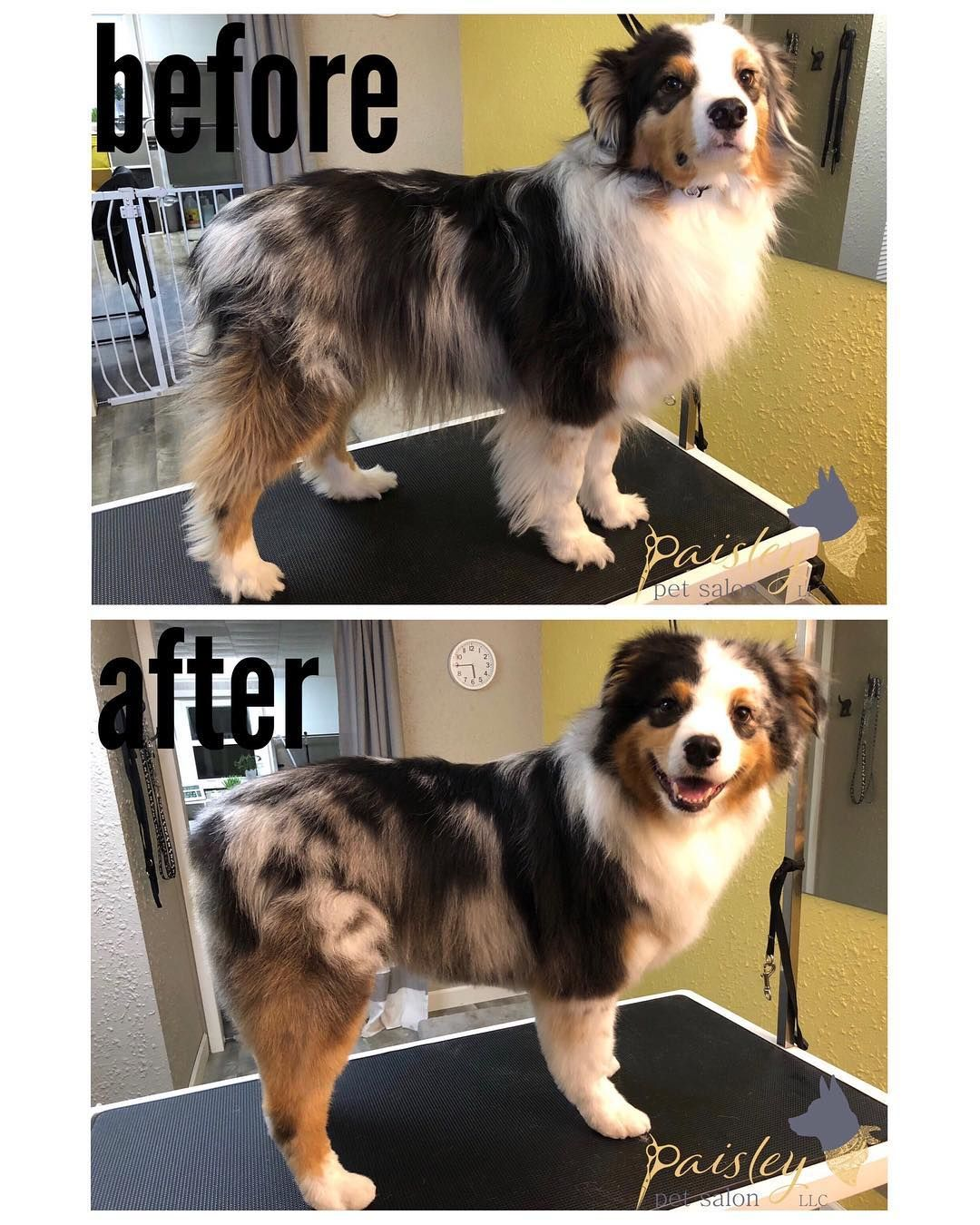 Tucker Was So Much Fun Not Only To Have In The Salon But To Groom As Well Look At That Big Smile Dog Groomers Dog Grooming Styles Grooming Australian Shepherd