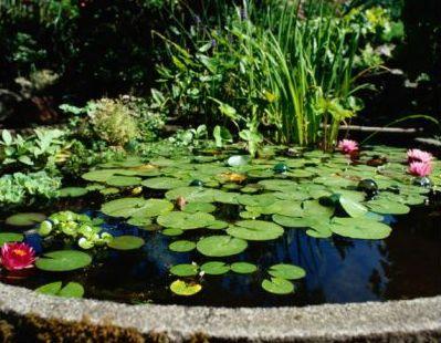 Fotos de plantas para estanques 47