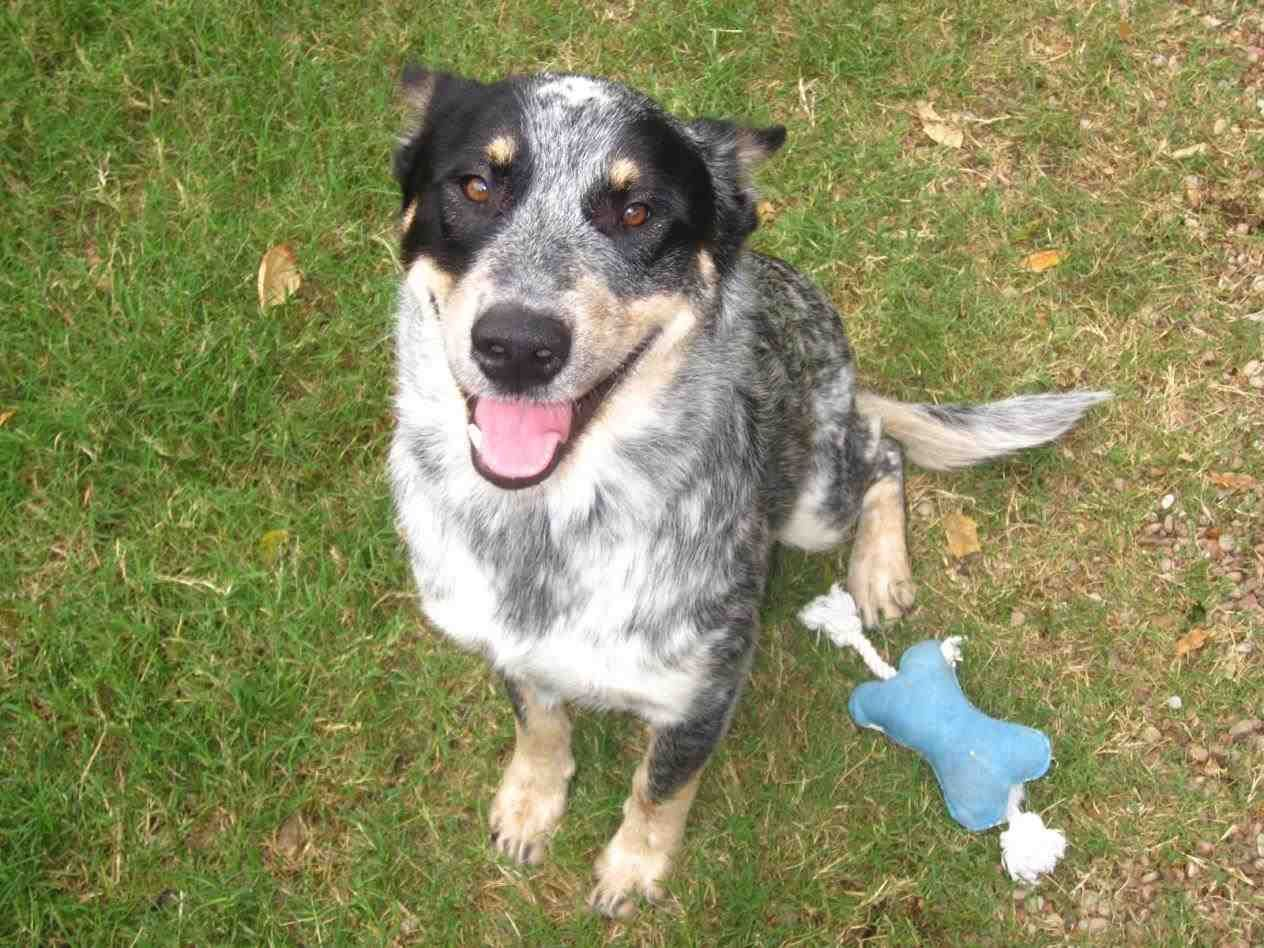 Blue Heeler Border Collie Mix 2020 Edition Australian Dog