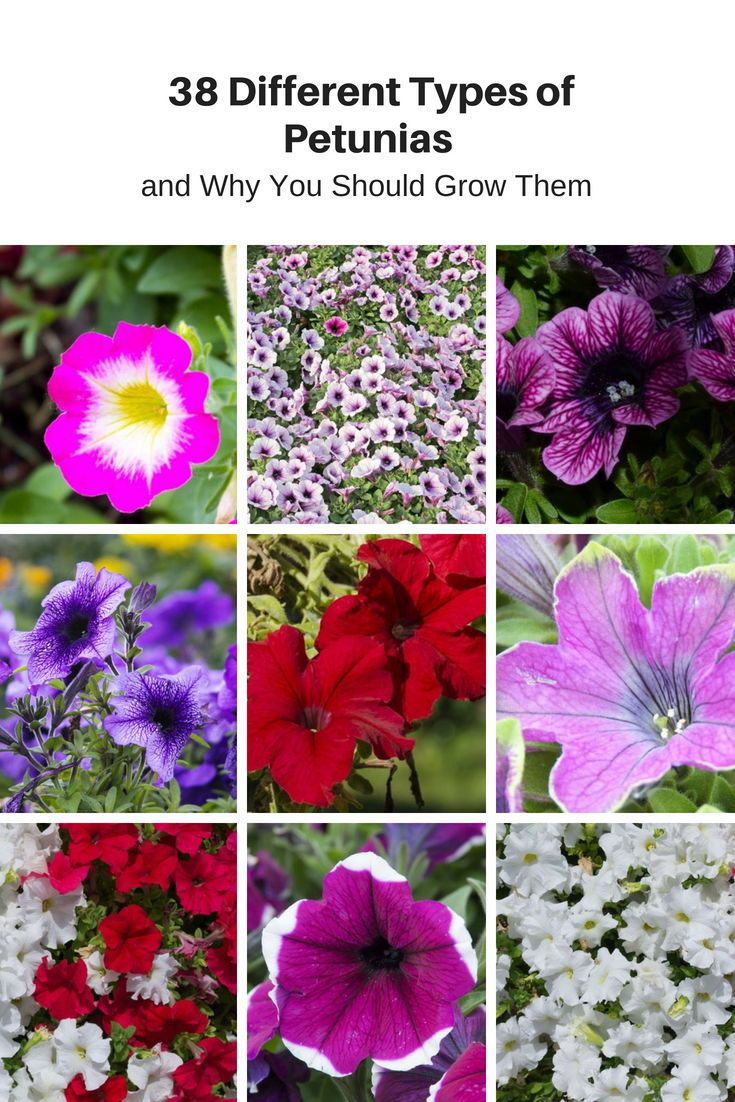 38 Different Types Of Petunias And Why You Should Grow Them Petunia Flower Petunias Petunia Plant