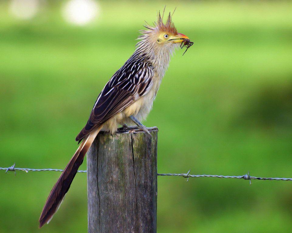 Guira Cuckoo Guira Guira By Dario Sanches Bird Families C Pinterest Bird