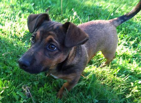 Roosevelt The Dachshund Mix Dog Breed Australian Cattle Dog