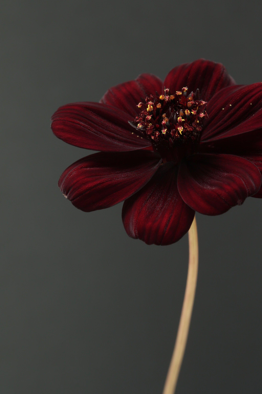 Pin By Beth Davis On Chocolate Cosmos Chocolate Cosmos Chocolate Cosmos Flower Flower Aesthetic