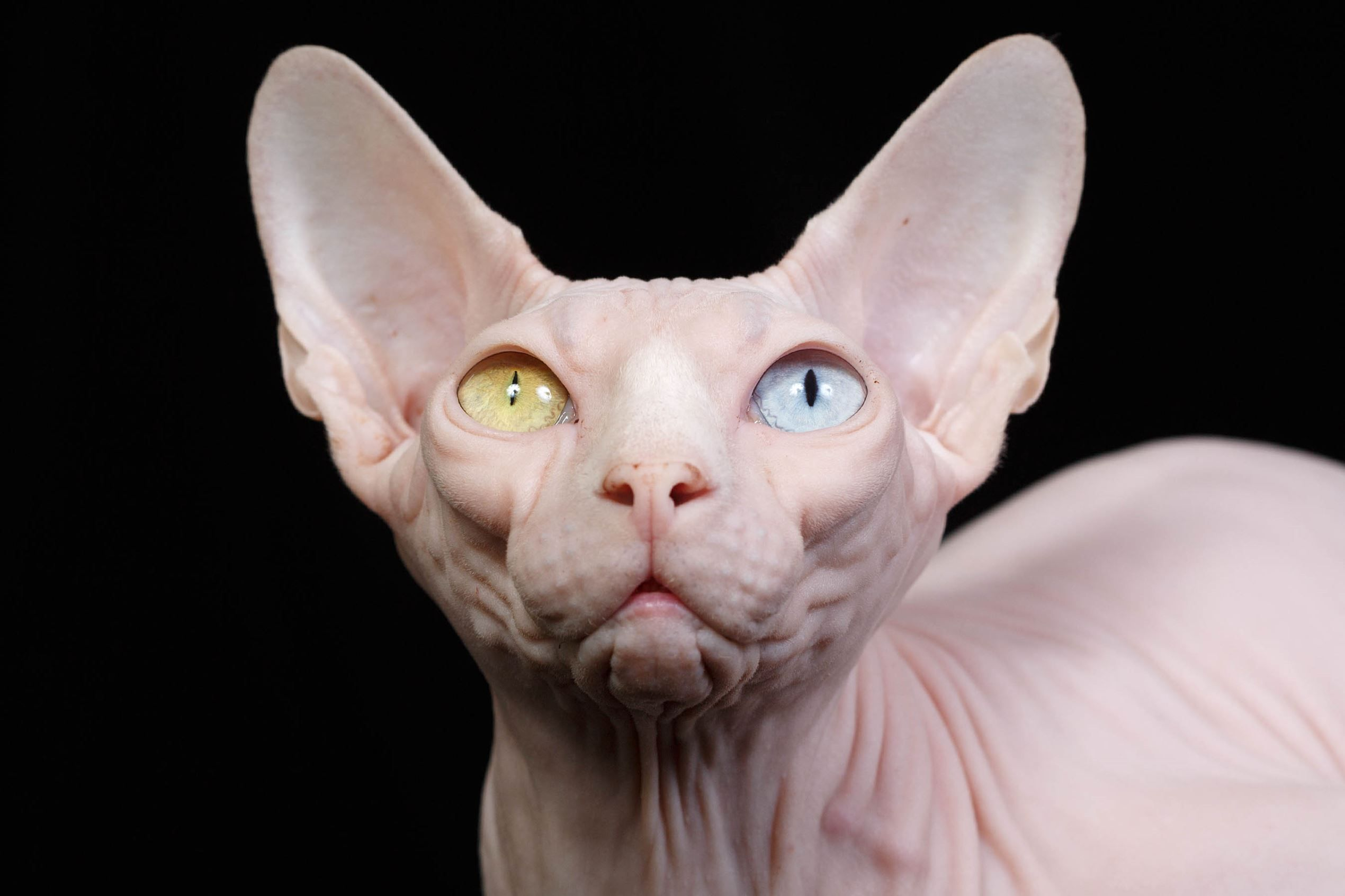 Bald cats: what are these wonderful creatures 65