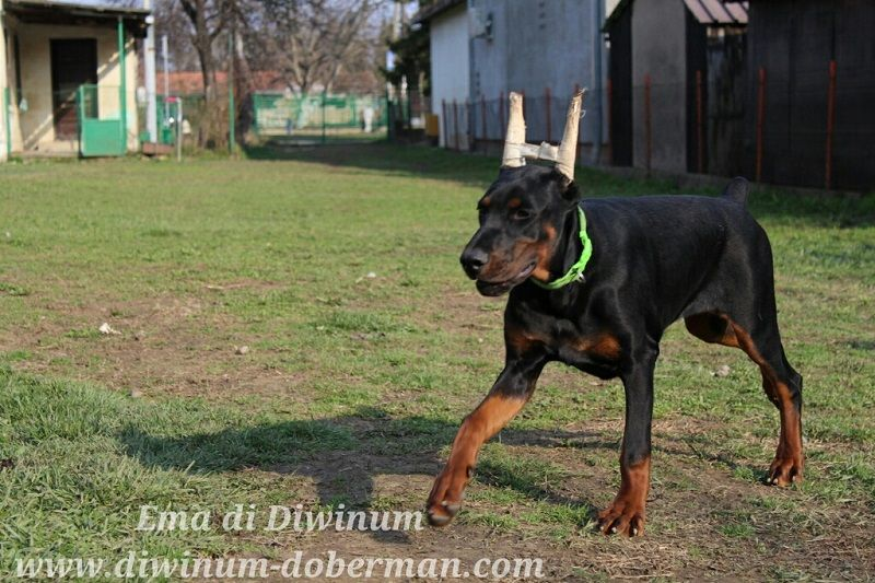 Doberman With Images Doberman Doberman Dogs Dogs