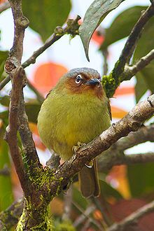 Chestnut-faced Babbler	(Zosterornis whiteheadi)
