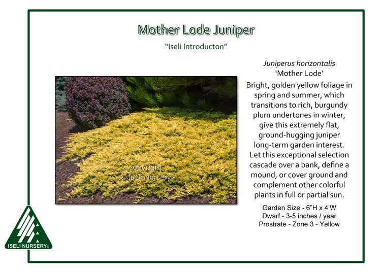 Juniperus Horizontalis Mother Lode Mother Lode Conifers Garden Companion Planting
