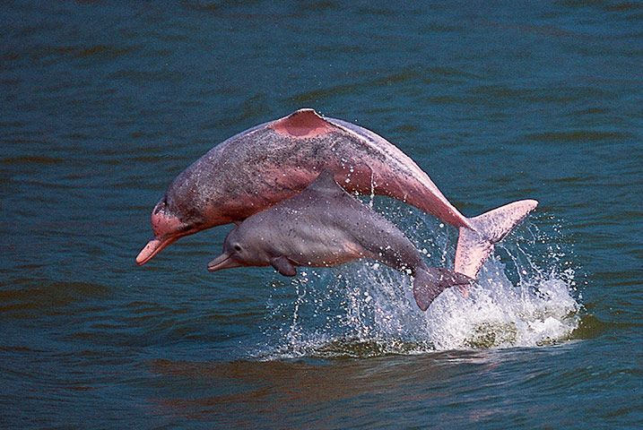 Amazon River Pink Dolphin National Geographic Special Chinese