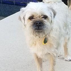 Gilbert Az Shih Tzu Meet Wilma A Pet For Adoption The