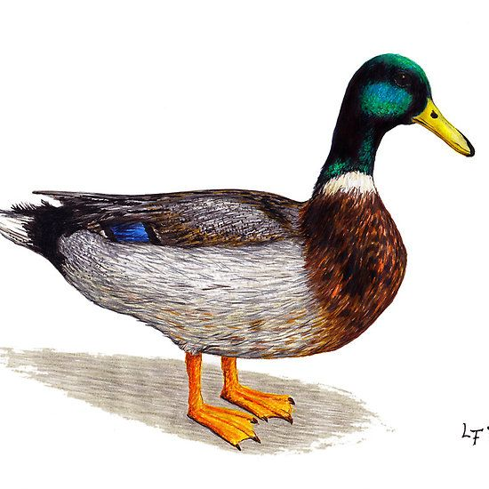 'Duck' by Lars Furtwaengler