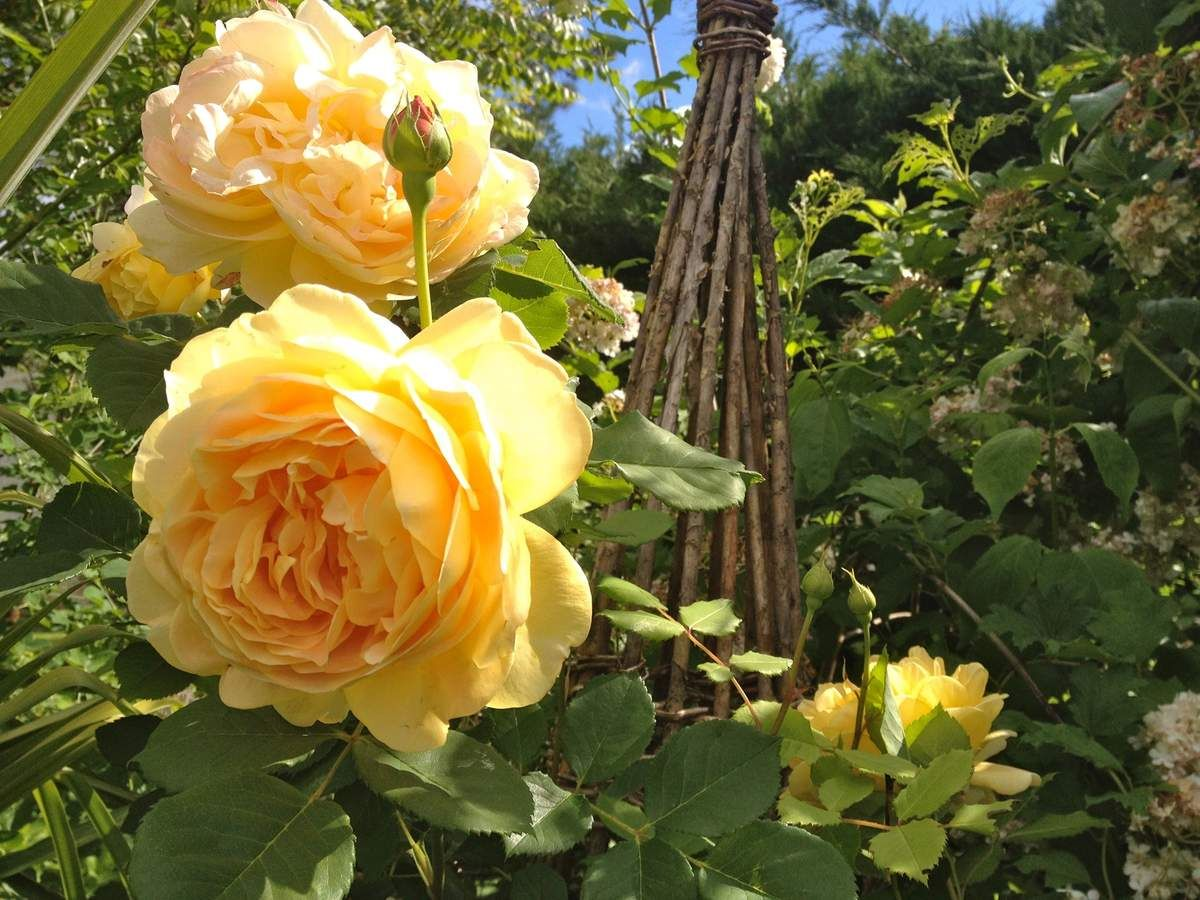 la taille des rosiers jardinage frescati taille des. Black Bedroom Furniture Sets. Home Design Ideas
