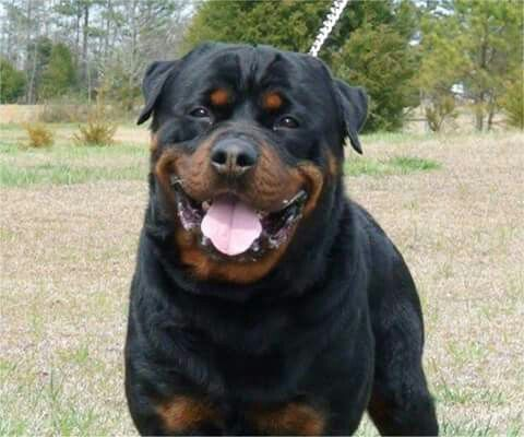 Rott From Your Friends At Phoenix Dog In Home Dog Training