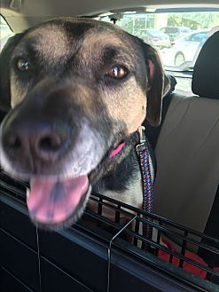 Black Mouth Cur German Shepherd Dog Mix Dog For Adoption In