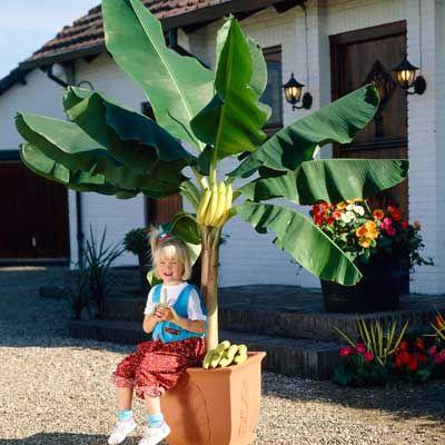 Dwarf Cavendish Banana Tree Fruiting
