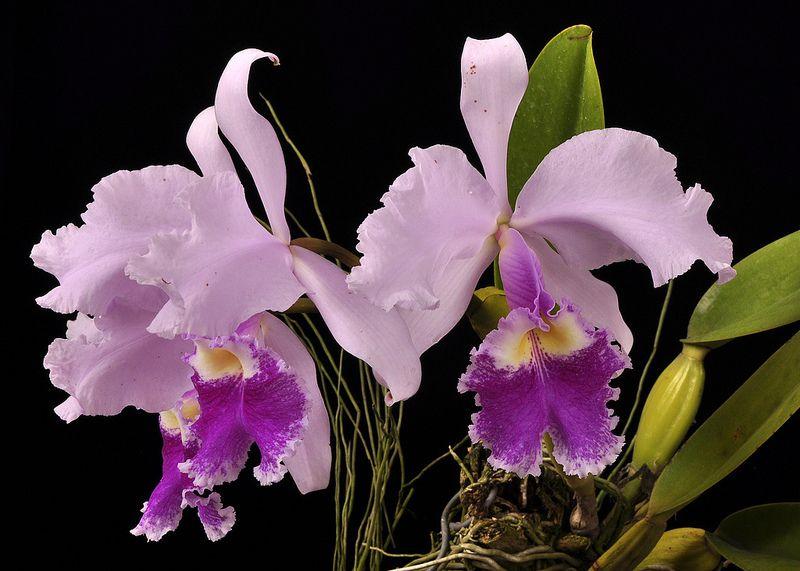 Cattleya Warscewiczii Cattleya Flowers Orchids