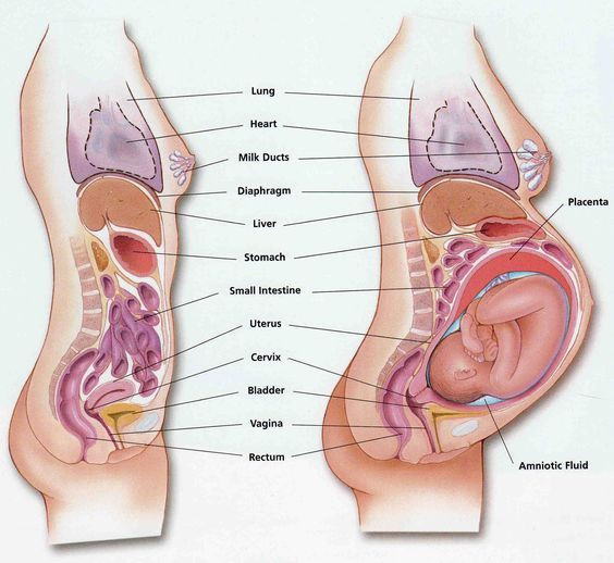 absolutely love this diagram. shows pregnant body/anatomy/organs ...