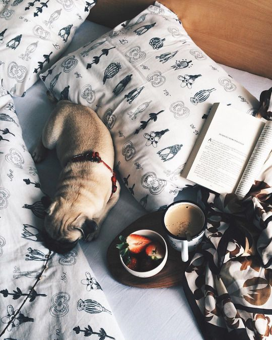 Pugs in Bed // In need of a detox? Get 10% off your @SkinnyMe Tea teatox using our discount code 'Pinterest10' at skinnymetea.com.au