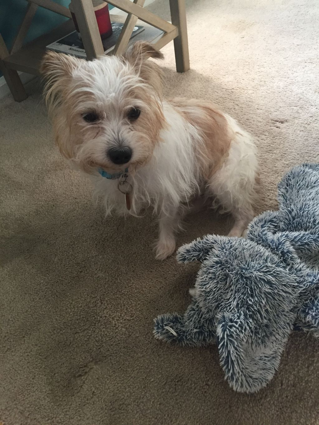 Adopt Dyno On Westie Dogs Dogs Terrier Mix Dogs